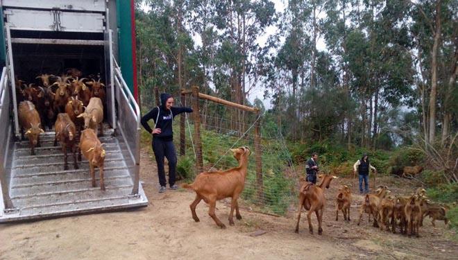 Chegada das cabras a Meira, en setembro do 2016. / Arquivo da comunidade de montes.