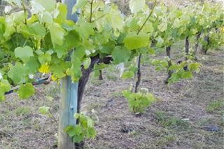 Coidados do viñedo durante esta semana