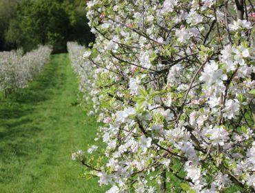 Coidados das maceiras durante estas semanas
