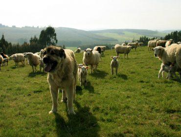 ¿Qué temos que ter en conta cando temos cans mastíns para a protección do gando?