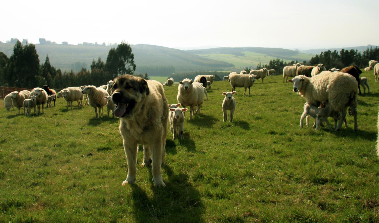 ¿Qué tenemos que tener en cuenta cuando tenemos perros mastines para la protección del ganado?