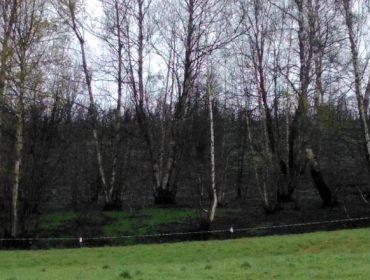 El Parlamento gallego regulará excepciones para pastorear zonas quemadas
