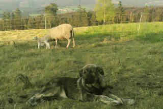 Ona, antes da cesión, nos prados de Pol (Lugo).