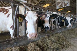 Vacas resultado de tres cruces.