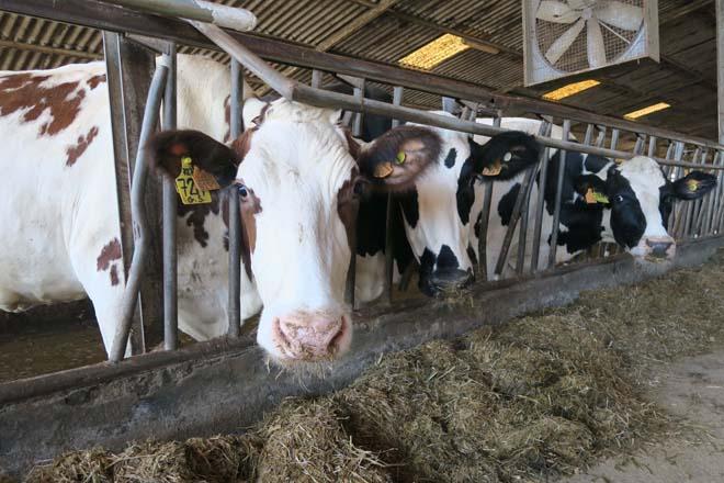 La paratuberculosis, claves para comprender y prevenir esta enfermedad en ganado vacuno