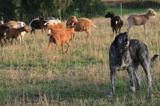 Fuerte malestar en los ganaderos gallegos por las ayudas de la Xunta para prevenir los daños de la fauna salvaje