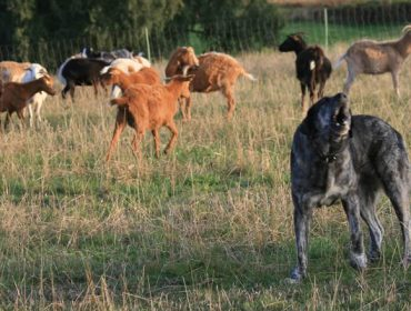 Recomendacións de Beealia para a prevención  de ataques do lobo ao gando