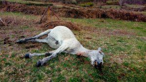 Cabalo-Sabucedo-morto-
