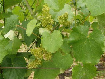 Areeiro recomenda manter a máxima vixilancia do mildio no viñedo
