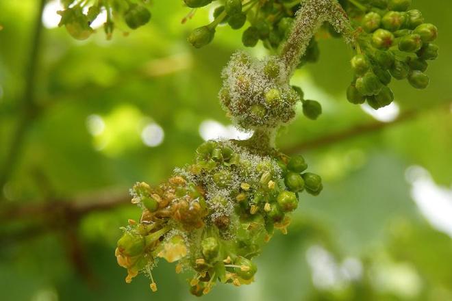 Cuidados de las viñas en estos días: Toca volver a tratar contra el mildiu e incluir materias activas contra la botritis