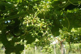 Buenas condiciones para la propagación del mildiu y del oídio en el viñedo en los próximos días