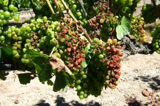 ¿Como está a afectar o cambio climático ao viño?