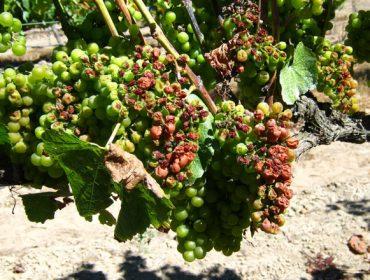 ¿Como está afectando el cambio climático al vino?