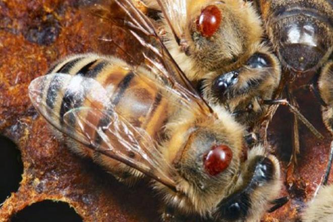 Fallos máis comúns nos tratamentos contra a varroa e uso de ácido oxálico