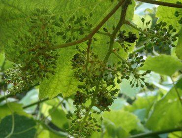 Coidados do viñedo durante os próximos días: poda en verde, controlar a herba e o oídio