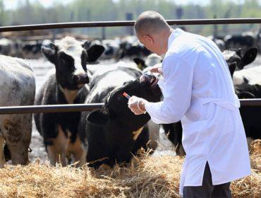 Novo test rápido de detección de BVD en granxa