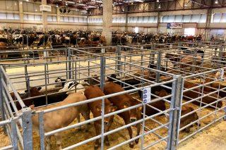 Baja el ganado de recría frisón y suben los becerros de cruce en Silleda