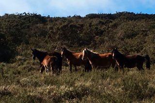 Así se crían os famosos cabalos salvaxes de Sabucedo