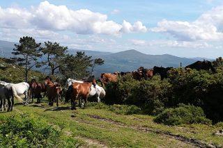 La búsqueda de los caballos en el monte: el otro gran atractivo de la Rapa de Sabucedo