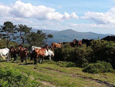 A procura das bestas no monte: o outro gran atractivo da Rapa de Sabucedo