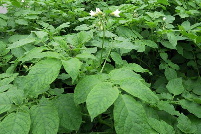 Existe comunicación entre as plantas de pataca dunha parcela?