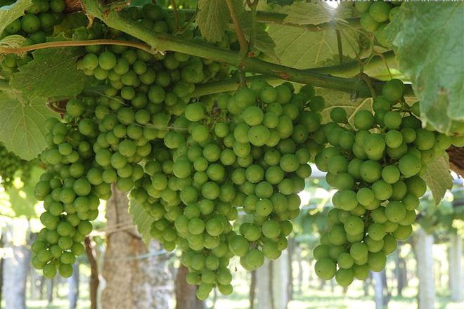 Racimos de uva dos meses antes de la vendimia en la comarca de O Salnés