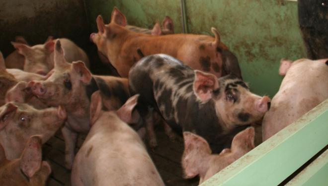 As granxas avícolas e de porcino, dous sectores en auxe en Galicia