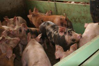 Baixada no prezo do porco cebado en Silleda