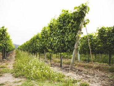 Vantaxes do abono orgánico de Aviporto en cultivos de horta, viña e froiteiras