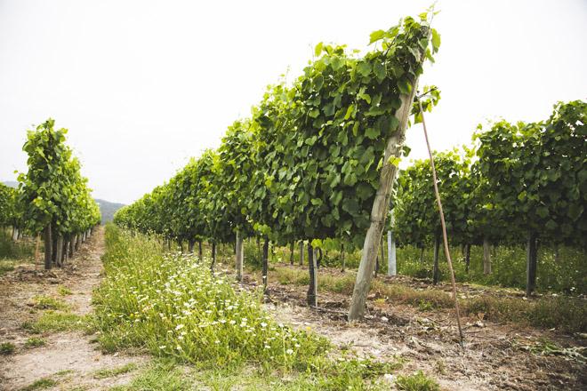 Os viñedos están en espaldeira, e non en parra, como é habitual na DO Rías Baixas