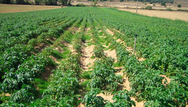 Nematodo, unha praga que resiste durante anos no terreo á espera da pataca