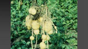 Segundos-crecimientos-patatas-