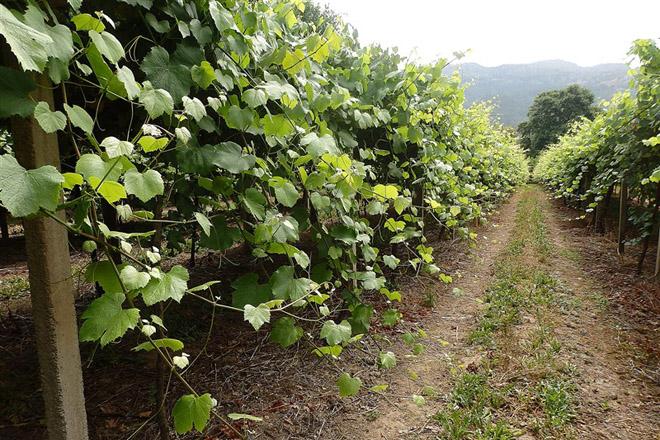 Cuidados del viñedo: Este año las podas en verde serán fundamentales para controlar las enfermedades fúngicas
