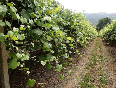 Coidados do viñedo: Este ano as podas en verde serán fundamentais para controlar as enfermidades fúnxicas