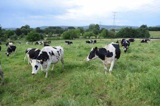 Galicia dispara a súa produción de leite e xa supón máis do 39% do total de España