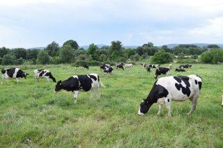 Poden as granxas de leite reducir a súa pegada de carbono sen deixar de ser produtivas?