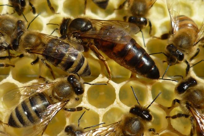 Ata 800 euros se chega a pagar por unha abella raíña
