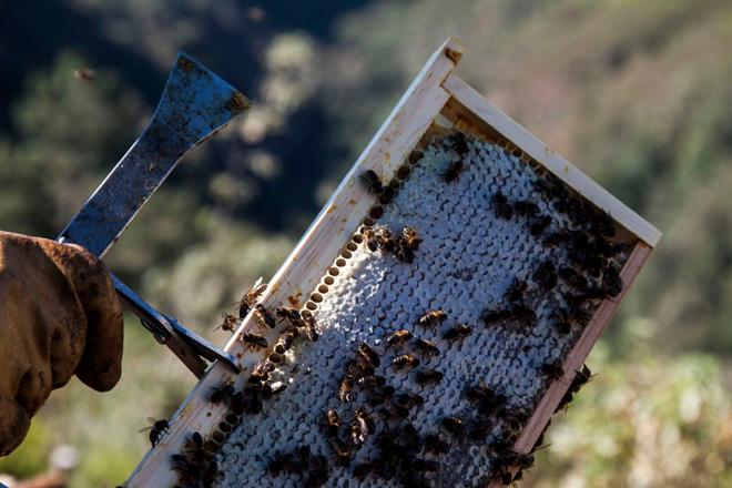 A colleita de mel redúcese, afectada pola seca estival e as chuvias da primavera