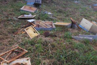 Colmenas afectadas por una incursión del oso en el Courel.