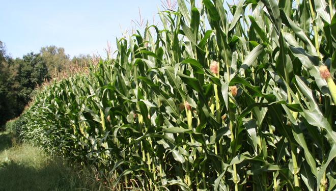 Boas perspectivas para a campaña de millo forraxeiro, pero a colleita retrasarase