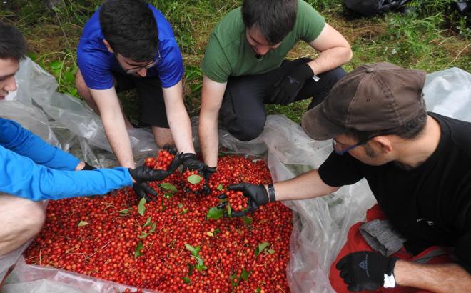 Cerezas recolectadas en O Courel por personal de la FOP para realizar plantaciones.