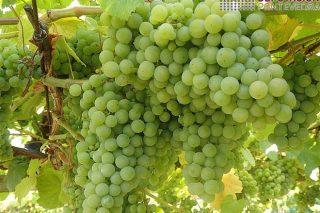 Areeiro advirte de que as viñas poden necesitar un tratamento contra a couza do acio