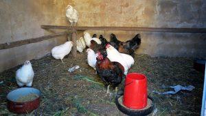 Animais de cría de galiñas araucanas.