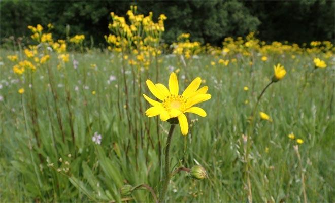 Árnica en un prado natural en Piornedo. / Imagen: R. Hermida (AGCT).