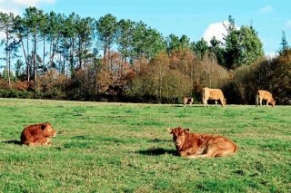 Como mellorar a rendibilidade no manexo das vacas de carne
