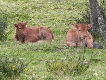 Claves da futura regulación das Organizacións de Produtores de vacún de carne