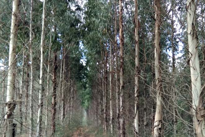 Curso en Ponteareas sobre o control da praga do gorgullo do eucalipto