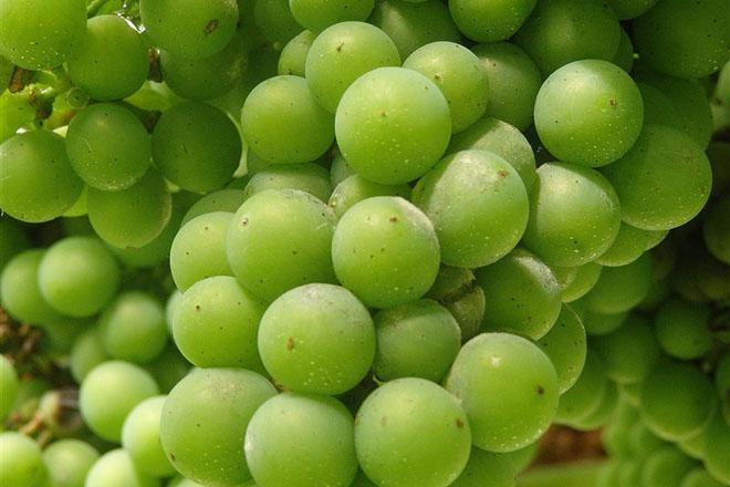 Recomendacións fitosanitarias para o viñedo