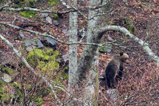 Como os apicultores do Courel evitan as 'visitas' dos osos ás colmeas