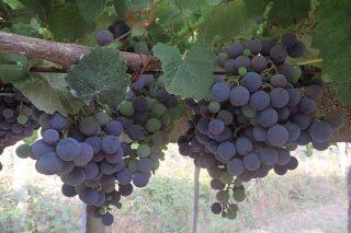 Areeiro aconsella asegurar a protección contra a botrite nas viñas